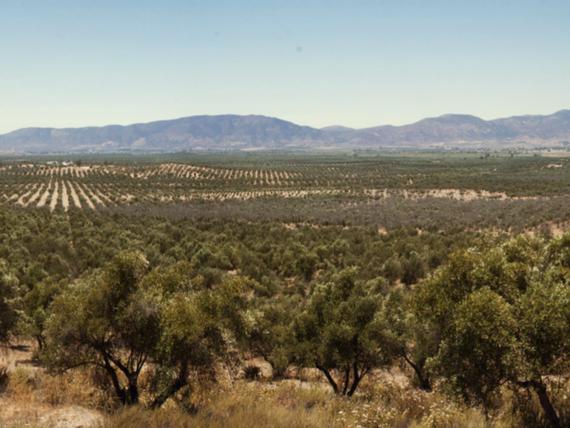 Rancho olivares, venta de hectareas, Valle de Guadalupe